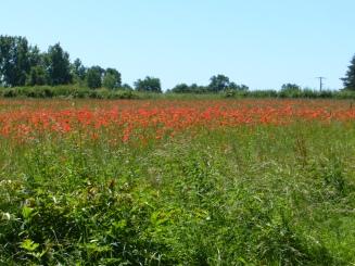 champ-coquelicot-saint-gerand-de-vaux-juin2017-chamaneetmarinette