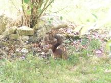 écureuil-enterre-nourriture-ordan-larroque-septembre2018-Chamane-et-marinette