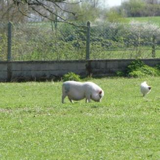 petit-cochon-mars2017-chamaneetmarinette